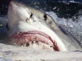 Is a great white shark heading for BRITAIN? Killer fish spotted just 1,000 miles off the Cornish coast - and it could arrive in 3 DAYS